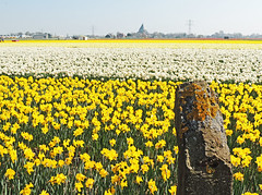 Fifty shades of yellow (Shahrazad26) Tags: narcissen daffodils bollenstreek bollenvelden nederland holland thenetherlands paysbas geel gelb jaune yellow
