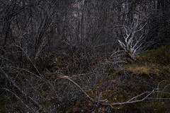 Kalliokatajikko (Olli Tasso) Tags: laikkolannokka kalliokatajikko kataja juniper bush puska pensas kangasala suomi finland luonnonsuojelualue forest landscape nature outdoors luonto maisema dark hämärä metsä