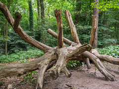 Cut down tree with many branches (frank.hoekzema) Tags: wood old wild plant abstract tree green nature ecology colors animals forest landscape dead death big woods branch natural outdoor cut background branches dry nobody down growth single trunk pss:opd=1413394396