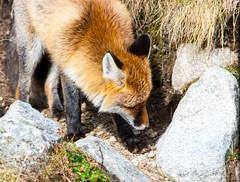 Rothariges Model 2 (Housetier84) Tags: red wild rot animal sony 350 fox alpha tier fuchs tatra hohe gebirge alpha350