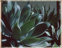 agave (Lindsey G (modchik)) Tags: polaroid agave expiredfilm landcamera packfilm instantfilm peelapart