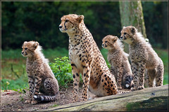 Cheetahs on the lookout (Foto Martien) Tags: africa wild holland netherlands dutch animal speed cat zoo kat asia sony details arnhem nederland fast safari bigcat afrika cheetah info savannah speedy wildcat documentation information chita description explanation veluwe burgerszoo cheeta safaripark a77 dierentuin gelderland azië gepard dierenpark savanne acinonyxjubatus guepardo documentatie guépard jachtluipaard informatie ghepardo toelichting semidesert burgersdierenpark beschrijving thickbrush fastestlandanimal burgerssafari martienuiterweerd martienarnhem fotomartien halfwoestijn sonyslta77v sonyalpha77 geotaggedwithgps tamron70300mmf456sp openbiotope