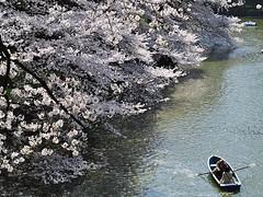 千鳥ケ淵 賞花 (beibaogo) Tags: 千鳥淵 m470