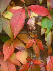 Colours Changing (Dave Roberts3) Tags: autumn fall leaves wall wales leaf newport gwent tredegarhouse supershot citrit