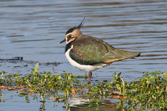 A thoughtful Lapwing (TonyJ 3006) Tags: birds lapwing
