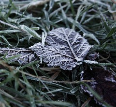 305/365 Frosted Over (trishp97) Tags: autumn winter cold macro grass leaves vancouver frost frosty chilly grousemountain