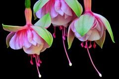 Fuchsias Dancing in the Dark of Night (njk1951) Tags: pink flowers green closeup fuchsia trio onblack pinkfuchsias threefuchsias pinkgreenfuchsias