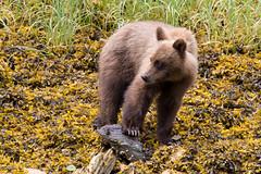 Grizzly bear cub (Alan Vernon.) Tags: bear wild brown nature grass mammal cub eating wildlife bears young orphans eat coastal american shore cubs immature predator ursus sedge sedges omnivore orphaned arctos