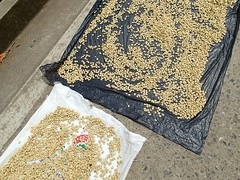 """On retrouve des grains de café qui sèchent au soleil • <a style=""""font-size:0.8em;"""" href=""""http://www.flickr.com/photos/113766675@N07/15331415667/"""" target=""""_blank"""">View on Flickr</a>"""