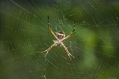 Aranha de Jardim ( Argiope Argentata) (Guto Machado) Tags: nature brasil insect spider nikon aranha