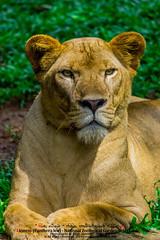 සිංහයා - Lion