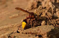 DSC_0418 (MD Golam Murshed) Tags: life wild flower macro bird nature beautiful closeup fly nikon dragon wildlife micro dhaka 5300 tamron vc bangladesh 70300 mirpur d5300 70300vc