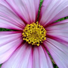 Cosmos (PeterCH51) Tags: uk plant flower macro nature closeup garden square scotland highlands purple blossom scottish gb makro botanicalgarden cosmos cosmea inverewe inverewegarden scottishhighlands inverewegardens cosmosbipinnatus poolewe londubh squareforrmat peterch51