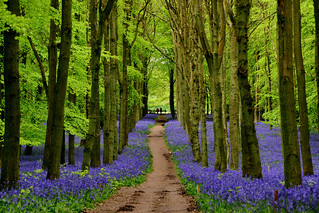 Ashridge Bluebells - May