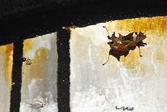 bladguld / Blattgold (Scilla sinensis) Tags: autumn gold goldenhour guld fotosondag fs141019