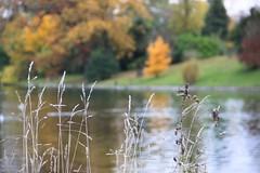 Bois de Boulogne (9151) (cfalguiere) Tags: boisdeboulogne france iledefrance arbre automne lac lake paris bois datepub2012q412 eau exterieur outdoor epis dof parc park