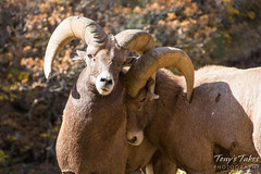 One bighorn ram gives another a nudge.