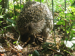 The hedgehog that trapped itself in the net! (beneventi2013) Tags: canonpowershota610 erinaceidae paolobeneventi