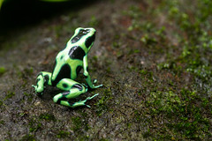 Dart Frog (COSTA RICA) (Eduardo Mena U.) Tags: explore animales rana venenosa dartfrog selvaverdelodge batracio verdinegra giraaocr ordenanura familiadendrobatidae especiedauratus greenandblackpoison gnerodendrobates
