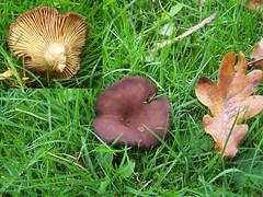 Milkcap Lactarius species (ERIK THE CAT) Tags: graveyard fungi stafford castlechurch