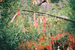 ribbons (katy.wang) Tags: china film me nature leaves 35mm pentax kodak bokeh buddhist super flags bamboo tibet 100 pentaxmesuper ektar