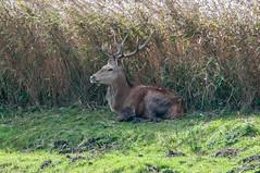 Red Deer - stag (thesetter) Tags: lancashire deer reddeer silverdale rspb leightonmoss cervuselaphus autumnwatch rspbleightonmoss