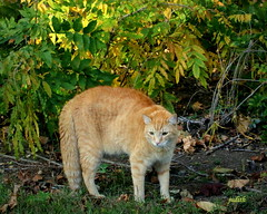 """Here comes that neighbors dog!... (judecat ( celebrating spring)) Tags: cat feline redtabby defenseposture floydd"