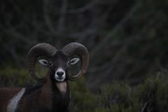 Muflone - Mouflon - Ovis orientalis musimon (Maurizio Loi) Tags: sardegna bovidae animalia mammalia mouflon ovis artiodactyla orientalis muflone musimon muròne