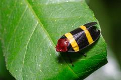 CERCOPIDAE - Prosapia sp. (Leonel Baldoni) Tags: beetle spittlebug froghopper cercopidae prosapiasp leobaldoni