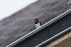 Swallow / Hirondelle Rustique (Dr Wood's Wildlife Photos) Tags: swallow hirundorustica rondine boerenzwaluw rauchschwalbe ladusvala hirondellerustique