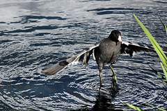 The karate Coot. (Alexandra Rudge.Thank you for 2.5 millon+ viewers!) Tags: naturaleza nature water animal animals reflections wildlife aves ave pajaros animales pajaro coot reflejos wildanimal