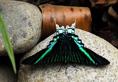 Green-Banded Urania (Prairie_Wolf) Tags: southamerica trekking trek butterfly insect ecuador amazon rainforest moth travelphotography uranialeilus greenbandedurania rachelmackayphotography