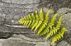 Someone To Lean On (Steve Schlosser) Tags: fern rocks milton hiltonfalls brucetrail landscapephotos ontariophotos