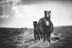 Icelandic Horses (Eric Pastorino) Tags: horses blackandwhite bw horse canon noiretblanc 135mm chevaux 135mmf2 5d3 5diii