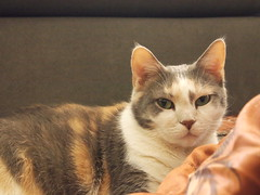 P2117204 (Raccoon Photo) Tags: pet cats pets cute love animal animals cat fur paw furry feline kittens pixie domestic kitties paws companions love animals eyes cat pixie kamalani domestic ball cat cats fur adorable stardust adopted