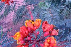 "Bee in Orange Desert flower • <a style=""font-size:0.8em;"" href=""http://www.flickr.com/photos/34843984@N07/15546673645/"" target=""_blank"">View on Flickr</a>"