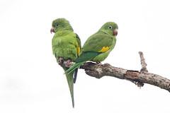 Yellow-chevroned Parakeet (Alan Gutsell) Tags: parrot parakeet analandia naturephoto brazilbirds yellowchevronedparakeet birdsofbrazil yellowchevroned wildlifephoto alangutsell