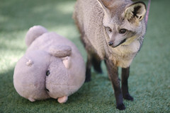 Bat Eared fox. (LisaDiazPhotos) Tags: park nature zoo san wildlife bat conservation diego safari fox eared animalportrait lisadiazphotos sandiegozooglobal