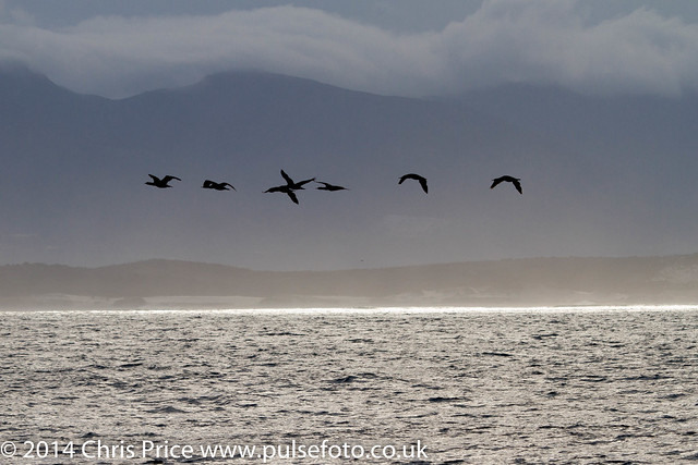 Cormorants,  Hermanus