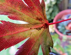 Cellular (Darling Starlings) Tags: life autumn light sunlight plant colour macro garden insect leaf october bokeh shapes cellular bugs japanesemaple shade acer shield veins shape reds cells 2014