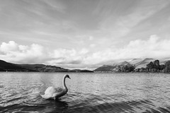 Swan - Lake District (jack.mihlenstedt) Tags: sea bw lake landscape swan outdoor