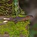 Litter Skink (Sphenomorphus haasi)