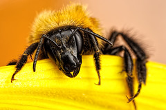 Crawling Out of Bed II (Dalantech) Tags: black flower macro yellow insect bee bumblebee sunflower