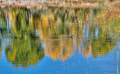 Ojo Autumn_5560 (No Rules Digital Images) Tags: autumn newmexico color reflection water coot waterreflection autumncolor americancoot ojocaliente bitd