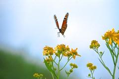 Monarch Mid-Flight (Sarah Hina) Tags: flowers yellow butterfly jump flight monarch