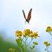 Monarch+Mid-Flight