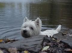 image (ColinJC) Tags: white scotland westie scottish highland tenerife bonnie