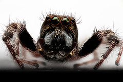 Eris militaris, Jumping Spider, Coventry, CT (Macroscopic Solutions) Tags: new abstract macro art spider interesting jumping eyes character micro solutions macropod viral macroscopic