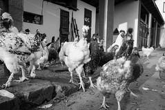 attack! (alxandru555) Tags: bw chicken fuji romania x100