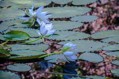 End of the Season for Lilies (StGrundy) Tags: flowers autumn usa plant flower detail fall nature water floral reflections garden georgia botanical pond nikon colorful quiet waterlily lily unitedstates natural pastel south peaceful southern lilies waterlilies watergardens zen tropical serene meditation southeast lilypad liquid tranquil nymphaea northgeorgia freshwater lightroom nymphaeaceae aquaticplant flowersinwater ballground d7000 waterlilygarden gibbsgardens